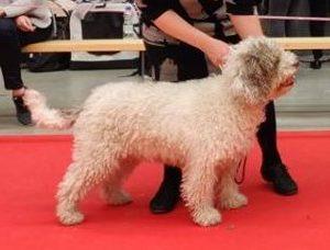 """""""Muffe"""" Aquagruaz Olfateador Odette koiranäyttelyssä"""
